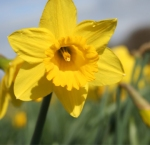 Lovely wedding Daffodils